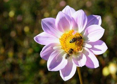 zaaien voor bijen